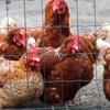 鳥農場 - メイン写真: