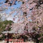 千本桜の吉野までリーズナブルにお花見ドライブはいかが?