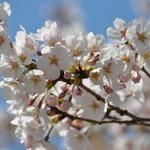 【第29回中野通り桜まつり 】4月3日(金)から3日間開催されます!