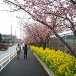 お得な『みさきまぐろきっぷ』を使って河津桜を見に行こう!!