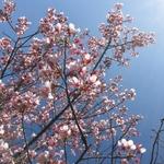 京都の春を呼ぶ和菓子~桜餅~