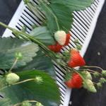 和田観光苺組合 - イチゴの状態