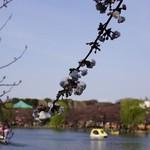 12336016 - 桜越しの不忍池