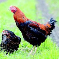お持ち帰り用に軍鶏飯や手羽の唐揚げなどもご用意しております!