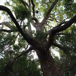 珈琲館 くすの樹 - 【13年9月】樹齢200余年の「くすの樹」