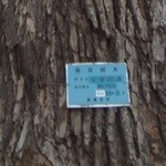 珈琲館 くすの樹 - 駐車場にある、保存樹林 くすのき