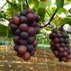 石原果樹園 - 料理写真:岡山でもっともメジャーというニューピオーネ。最強に美味しいブドウです。160円/100g。だいたい一房600g前後