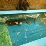 日本橋イカセンター - 生簀にイカが泳いでいる
