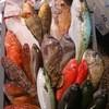 にぎにぎ一 - 料理写真:五島列島から朝漁れの魚が届きます。