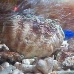 なぁ~た - ルリスズメダイが戯れているシャコ貝を…