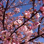 24720118 - 2014.3.8江戸川の桜、早咲き河津桜かな