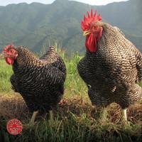 完全オリジナルにして唯一無二の純和血統!「大和極味鶏」の実力