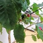 sunday zoo - 自家栽培のコーヒー