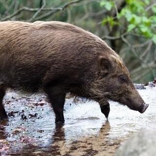 日本のジビエ炉とマタギのこだわり食材【猪】
