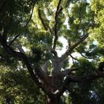 珈琲館 くすの樹 - 楠木アップ