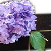 阿寓 - 料理写真:3種盛り紫陽花添え