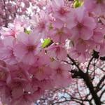 35737276 - 河津桜