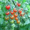 ピアチェーレ - 料理写真:お世話になります。秋山農園さんのとまとです。愛情たっぷりで育ててくれてます。