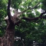 珈琲館 くすの樹 - くすの樹。大樹。