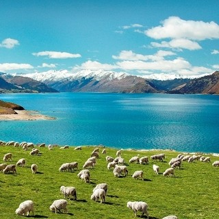 羊肉は新鮮なニュージーランド産を一頭買い