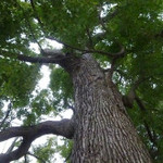 珈琲館 くすの樹 - 敷地内の大きなくすの木