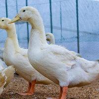 自社鴨農場から直送される国産ならではの旨みをもった最上鴨