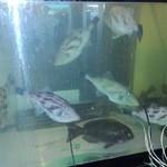 炉端 小次郎 - 店に設置された水槽。天然の山口県産の活魚