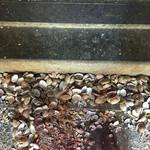 47304427 - あさりの貝殻は床に捨てるのがルール
