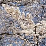 ラ・コリナ - 4月は桜並木が目の前のテラス席でお食事を!!