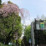 49856268 - 歩いて入る道には桜が咲いておりました