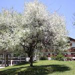 レストラン クララ - 5月下旬頃からコナシの白い花の後にフジの花が綺麗に咲きます。
