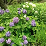 52959609 - 東慶寺の紫陽花                   この色をまめやさんは豆菓子で表現したのですね