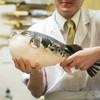 地魚料理 海山 - 料理写真:淡路島3年とらふぐ(2kgクラス)