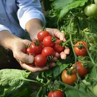お待たせしました!大人気のEM朝摘みトマト。サラダコーナーにご用意