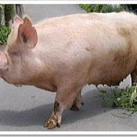 幻の豚中ヨークシャー純血種