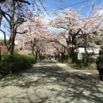 海鮮丼屋  海舟 - 20170412、春の小田原城。桜も満開です!