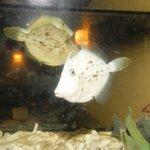 魚筍 - いけすのカワハギです。  おいしいよーー