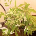 ケララの風Ⅰ - カレーリーフの花